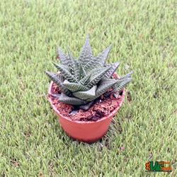 Hawortia Limifolia M-8.5